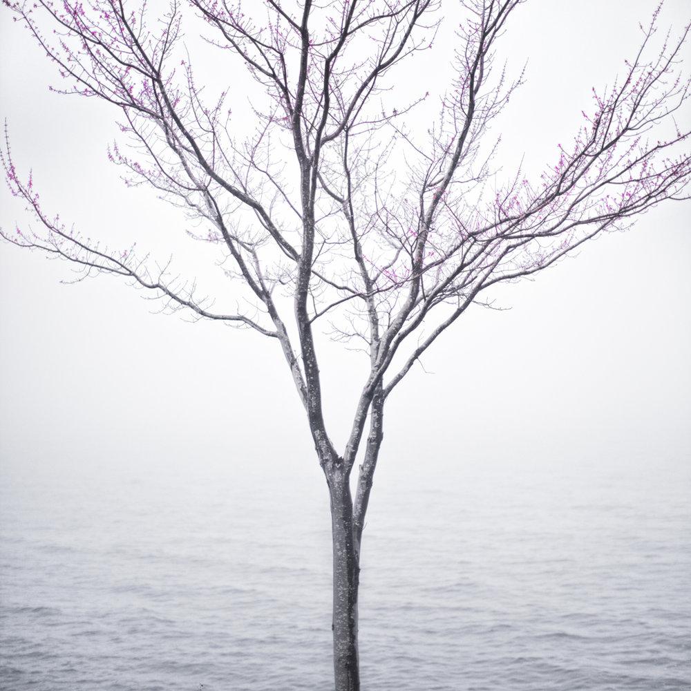 CIG HARVEY,  Spring Tree in Fog , 2012