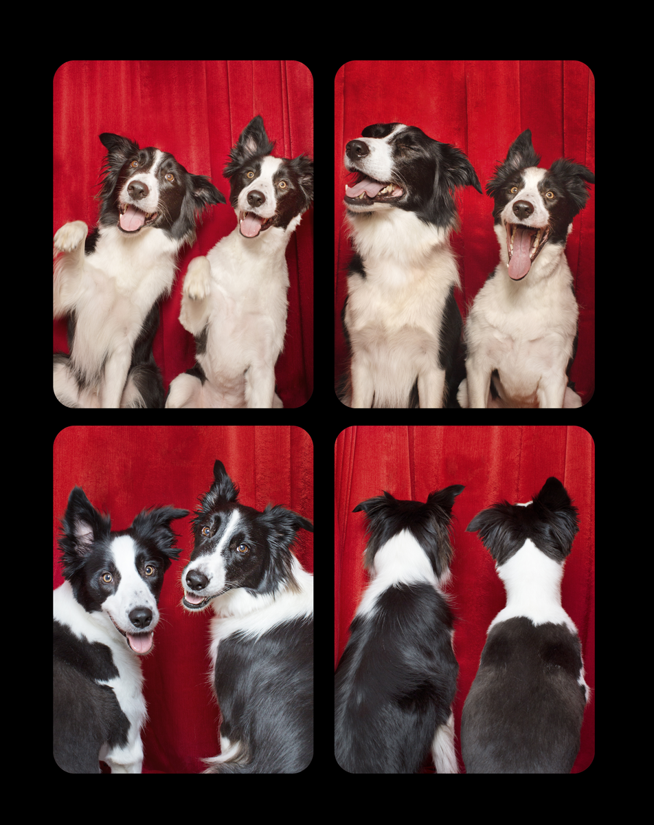 07.bordercollies.png