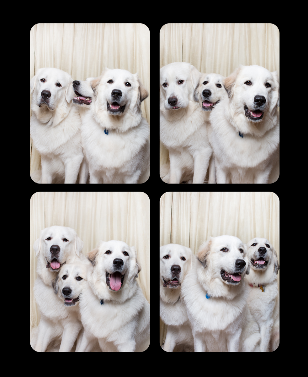 14.greatpyrenese-3up.png