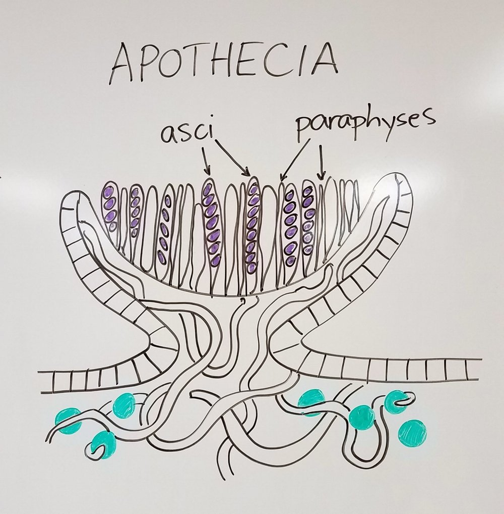 Close up of lichen reproductive structures III: apothecia