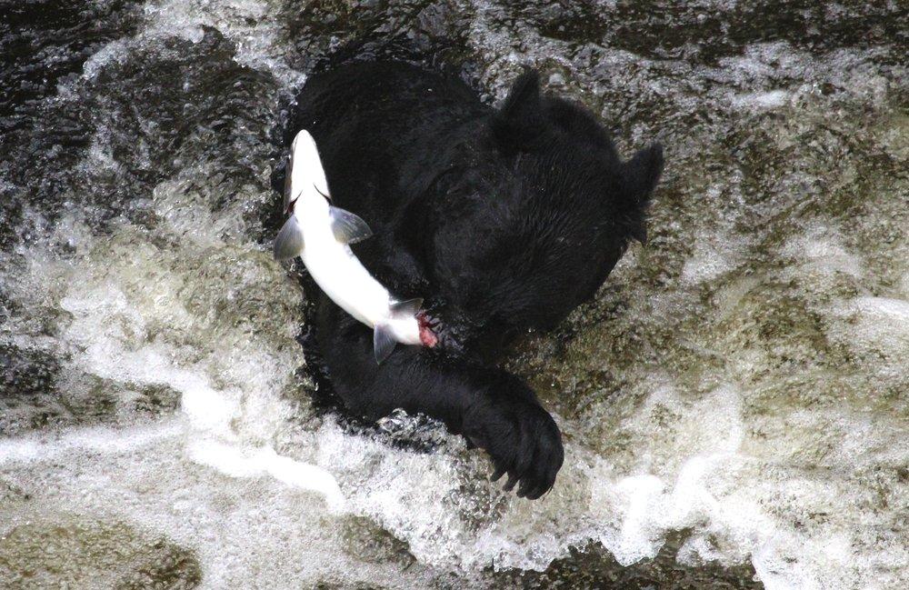 Bear-salmon_JonasFineman.jpg