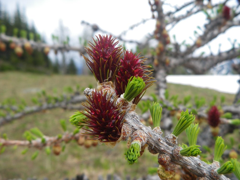 A subalpine larch cone observed in Marie's field work.
