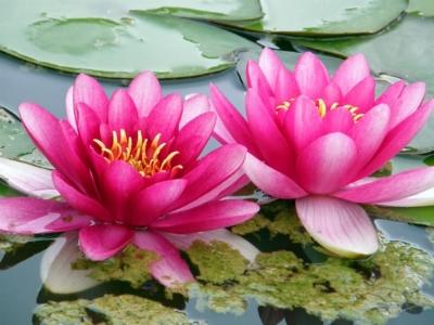 two lotus.jpeg