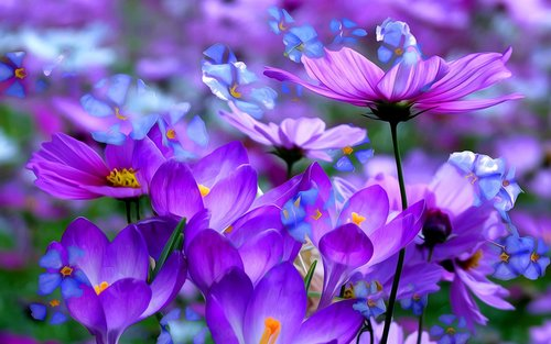 crocus-purple-flowers.jpg