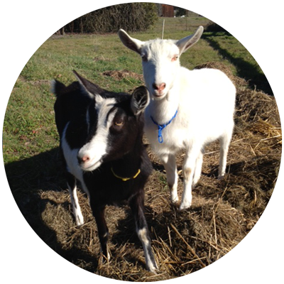 Stella and Nigel, rescued goats at a farm animal sanctuary