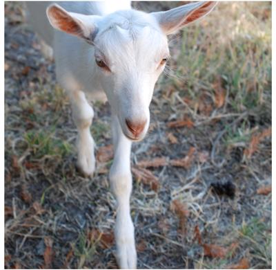 goat at the Goatlandia animal sanctuary in Santa Rosa