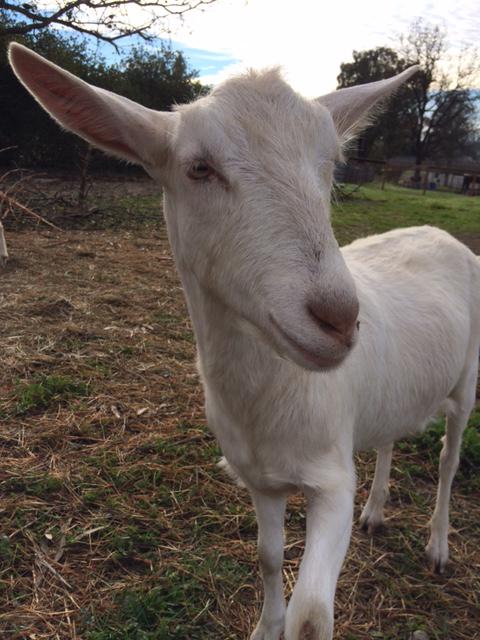 White Goat in grassy field