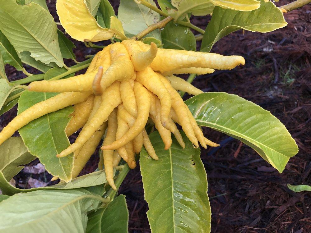 Buddah's hand citrus fruit in Bob Longmore's garden.JPG