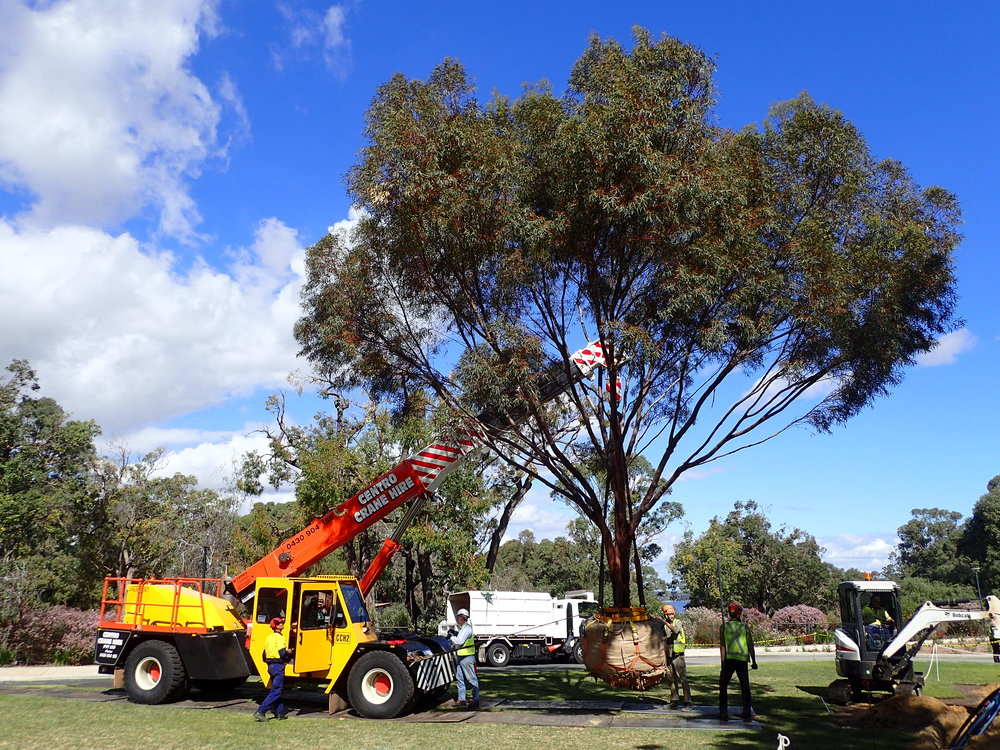 Transplanting Eucalyptus sargentii in Kings Park
