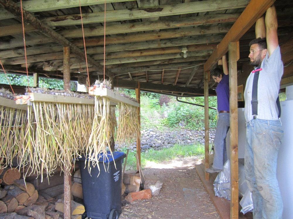 hanging garlic 003.JPG