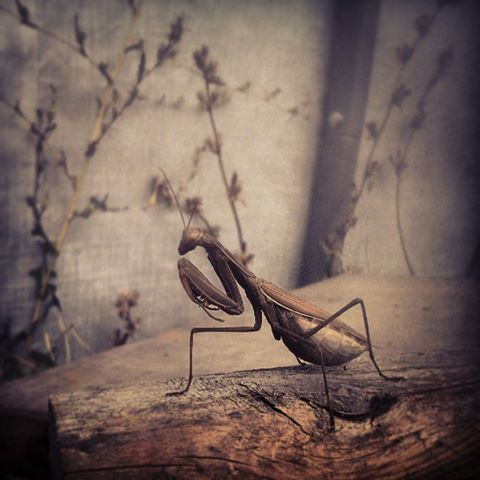 a mantis.jpg