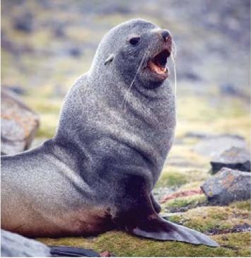 Seal - Antarctica.png