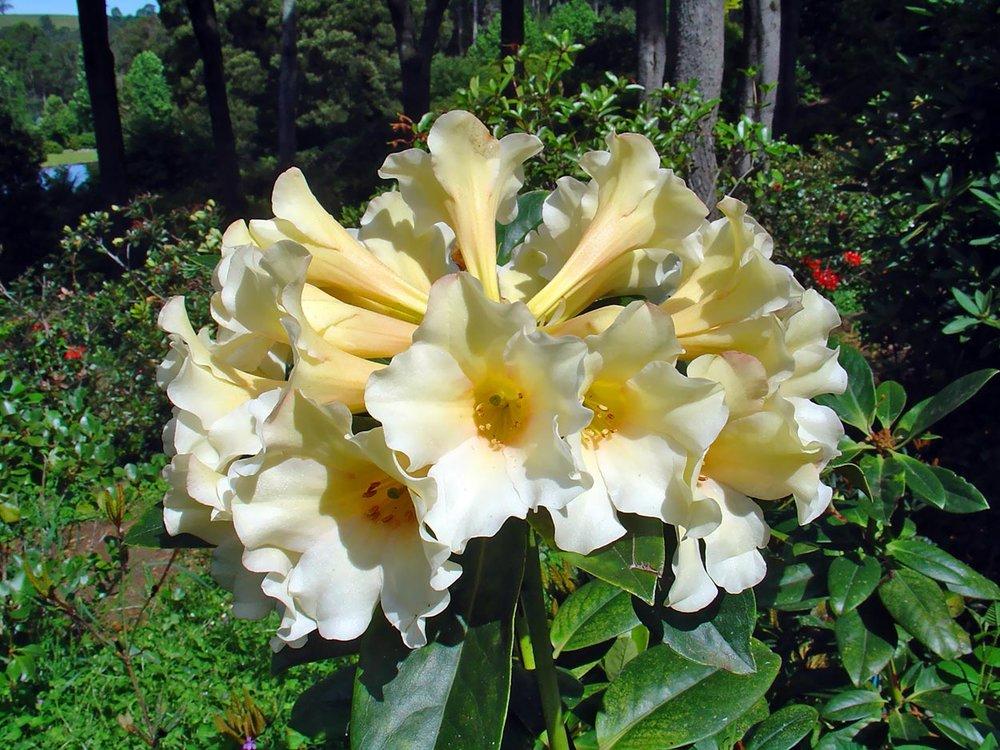 R.gardenia-odyssey