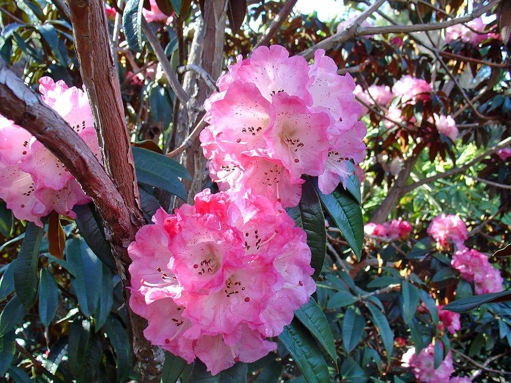 R.arboreum-campbelliae