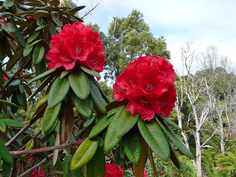 R.arboreum-sspnilagiricum