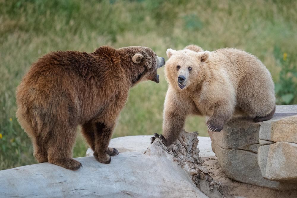 bears playing.jpg