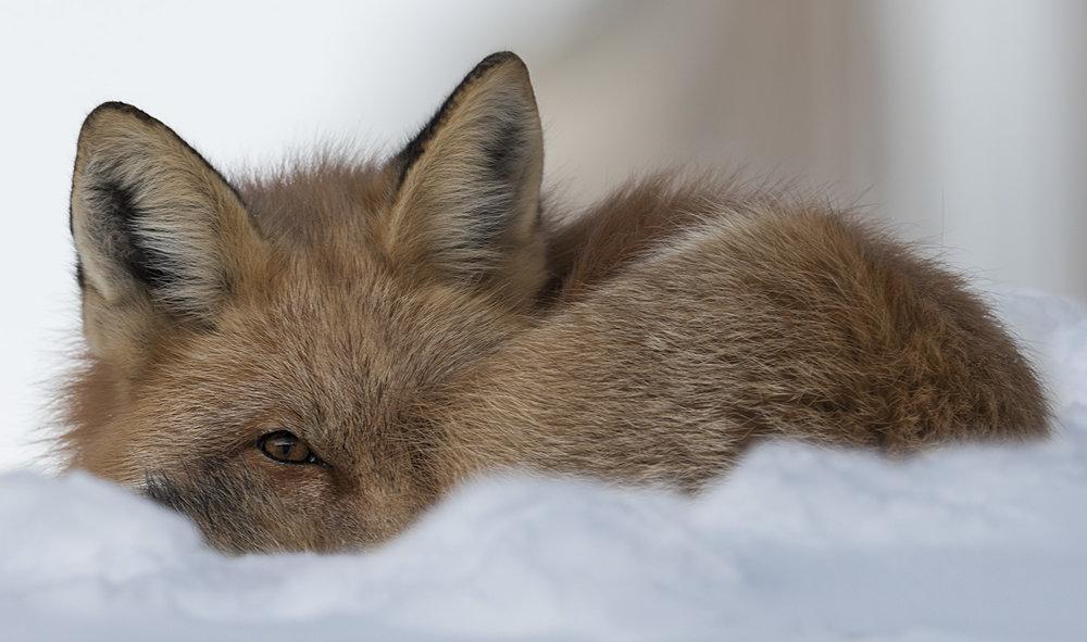 fox stare.jpg