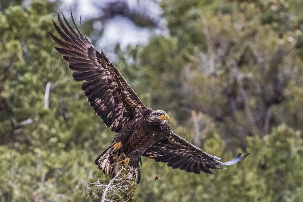juvenile flight.jpg