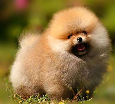 Cute_Pomeranian_Picture.jpg