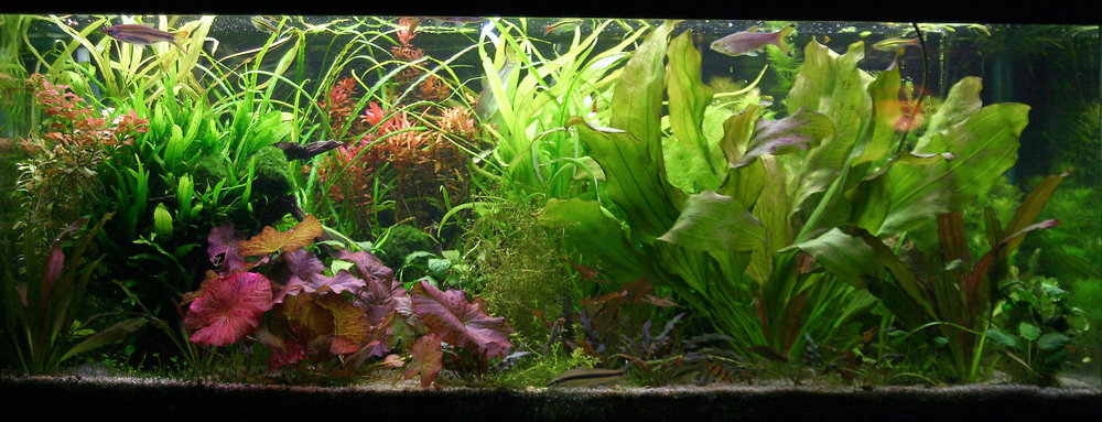 And the same tank after a period of good fertilization.