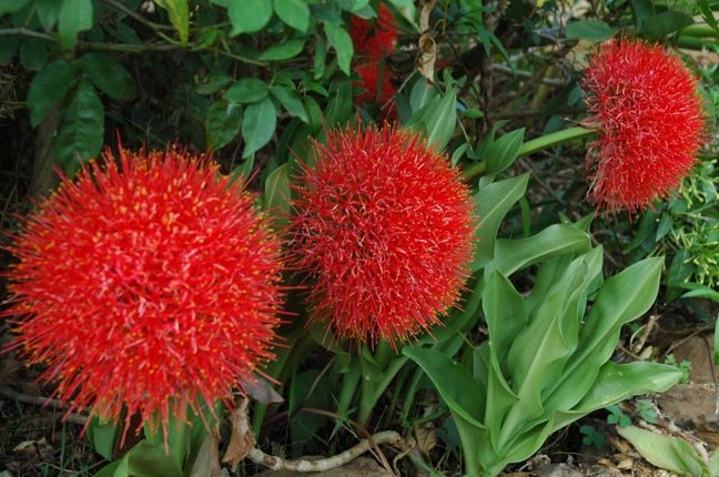 Blood Lilies, Scadoxus multiflorus, variously called Powderpuff or Football Lilies, pop up post rains
