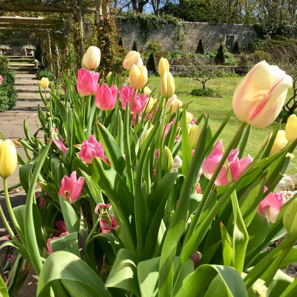 Slade Garden square tulip.jpeg