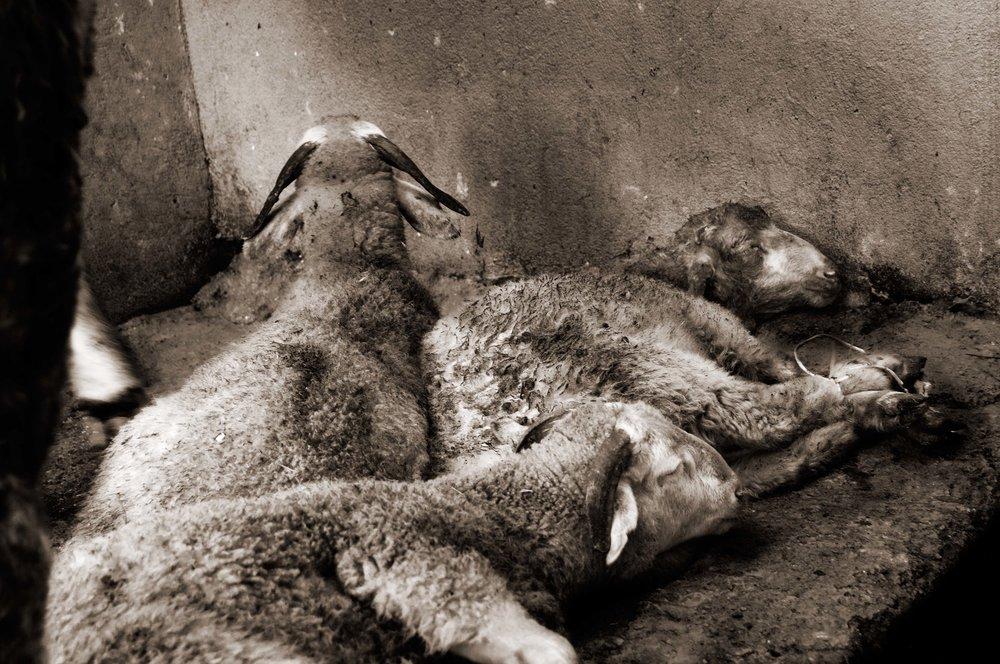 Three lambs