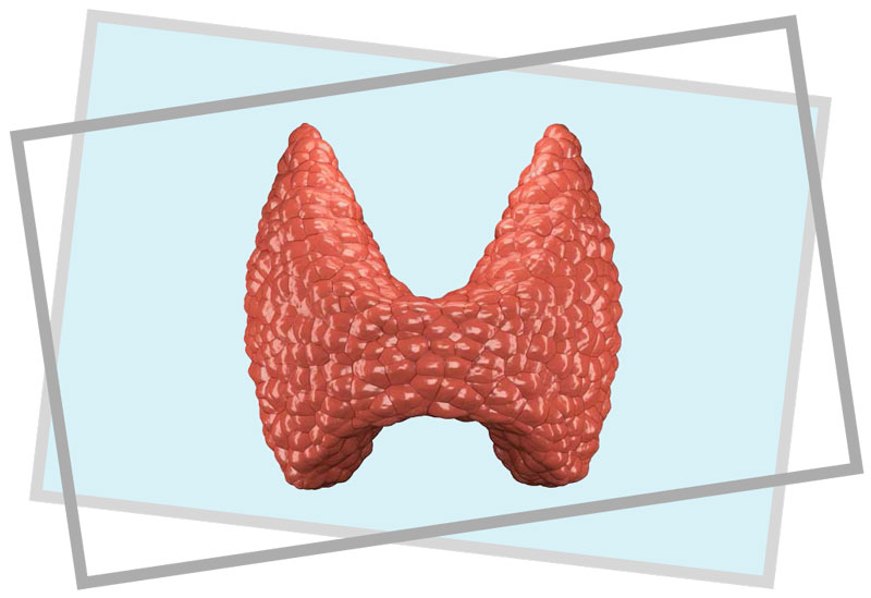 a picture of the thyroid
