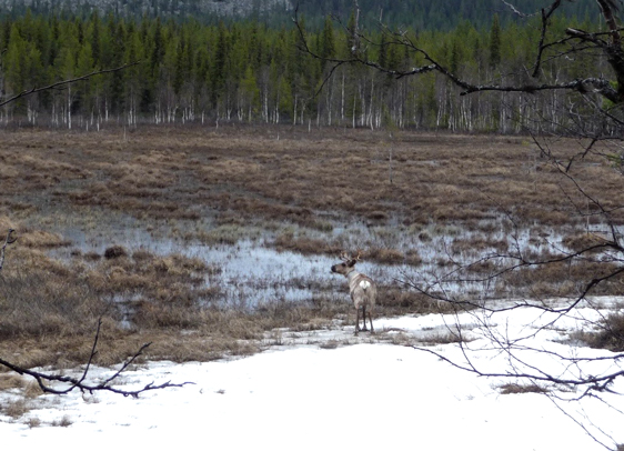 A reindeer on spring pastures . Photo: Alessia Ubon