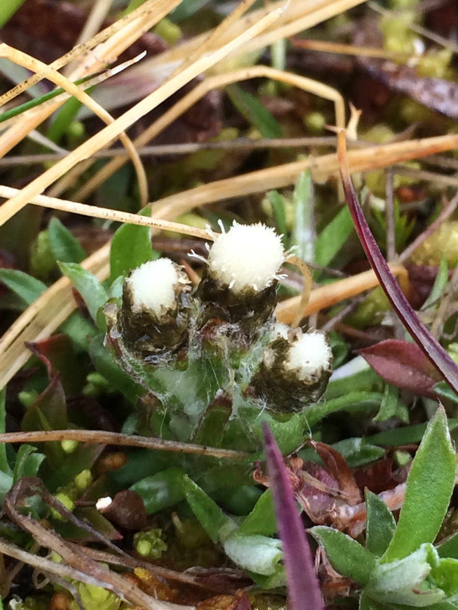 Antennaria alpina 900x1200.jpg