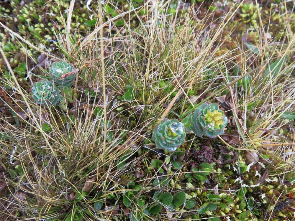 Rhodiola rosea 1200 x 900.jpg
