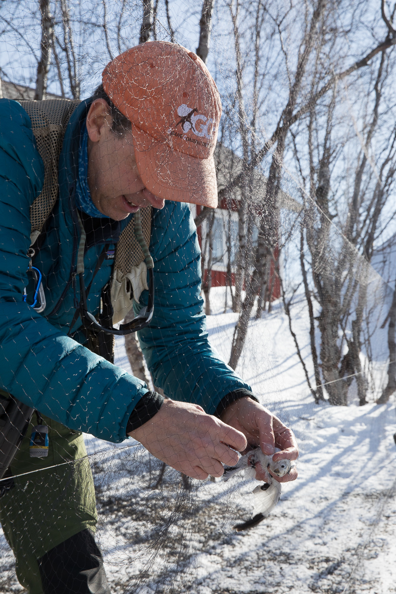 Keith Larson extracting snow bunting taken by Oliver Wright 2.jpg