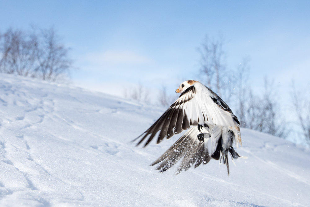 Snow bunting flying away taken by Oliver Wright.jpg