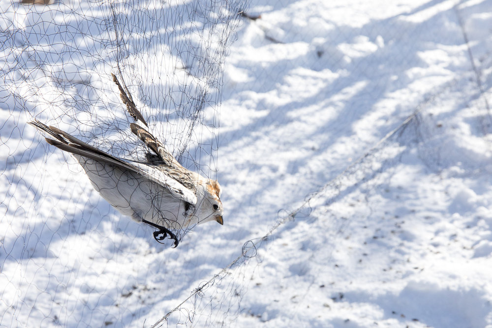 Snow bunting in the net taken by Oliver Wright.jpg