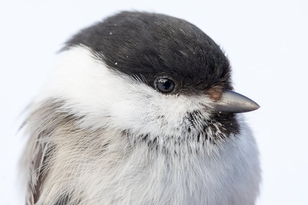 Willow tit taken by Oliver Wright 2.jpg