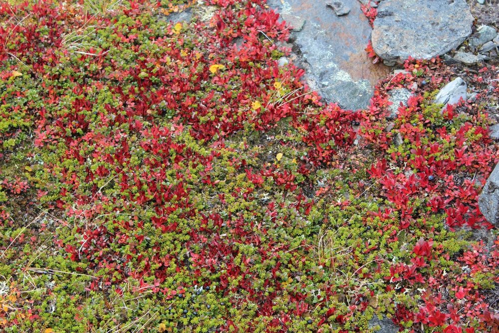 Arctostaphylos alpinus autumn colours 1200x800.jpg
