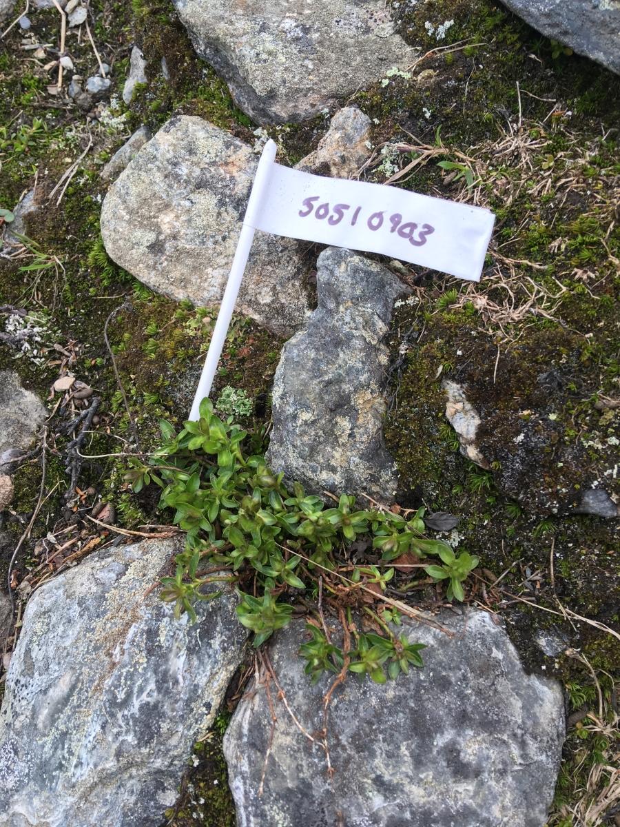 Nuolja flagged plant 1200 x 900.jpg