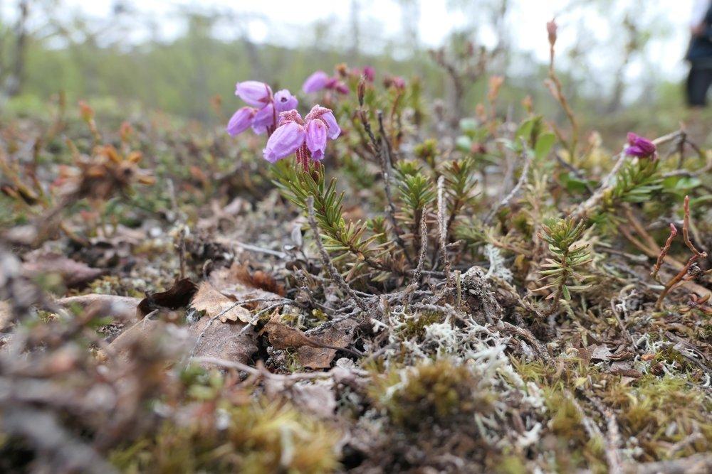 Phyllodoce caerulea 1200x800.jpg