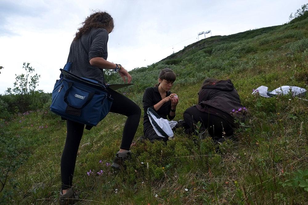 Bumblebee Phenology, Nuolja, w. Tara Cox, Olivia Bates, Frida Brännlund 9256 1200x800.jpg