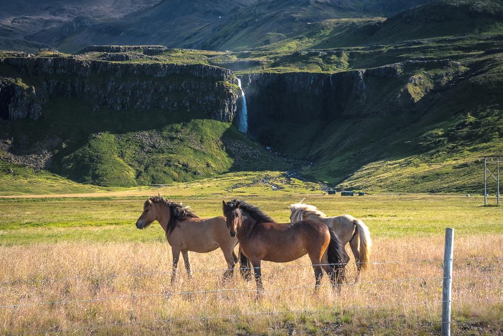 icelandic_horses_web.jpg