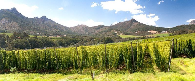 South African hop fields. Photo credit: South African Country Life