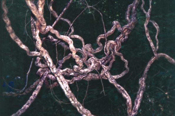 Figure S7.1.  Lianas in a tropical forest, ©LG Lohmann.