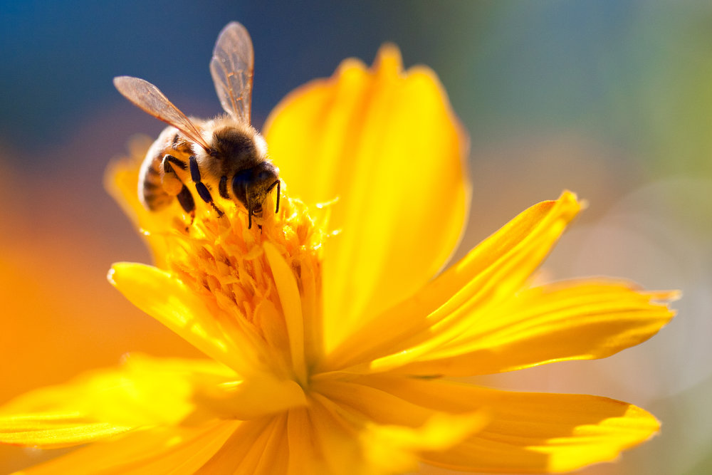 'If the bee disappeared off the face of the earth, man would only have four years left to live.' Einstein.