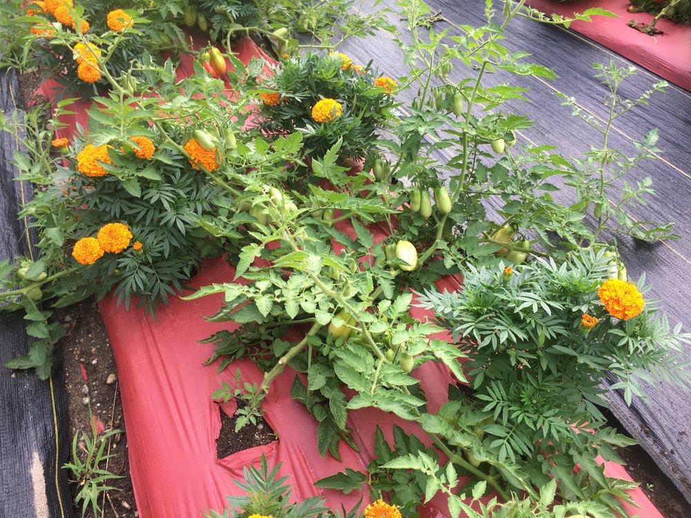 2016-7-31 tomatos (9).jpg