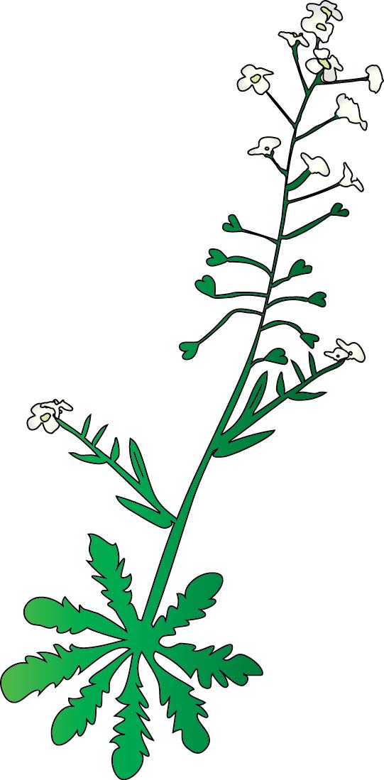 Capsella sp.