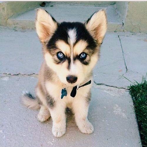 4d31913b7459a096e6b591b7e3e95304--cute-husky-puppies-husky-puppys.jpg