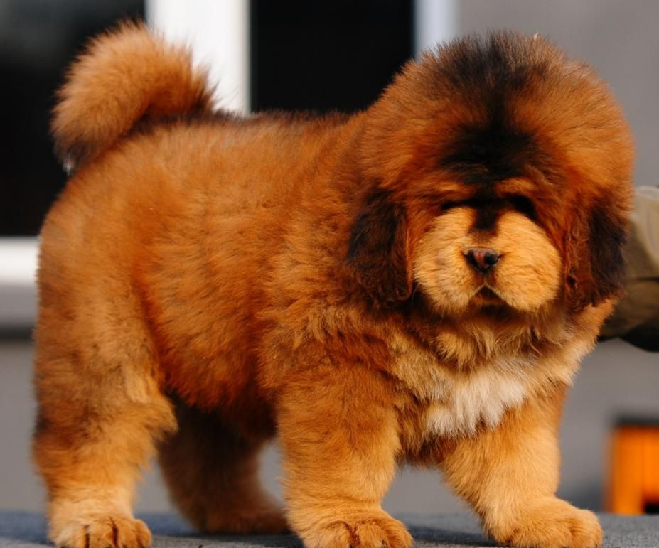 Cute-Tibetan-Mastiff-Puppy.jpg