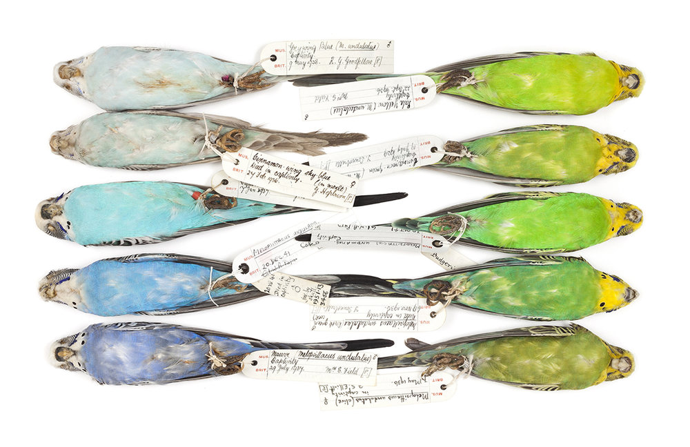 Budgie specimens illustrating colour variations © Trustees of the Natural History Museum