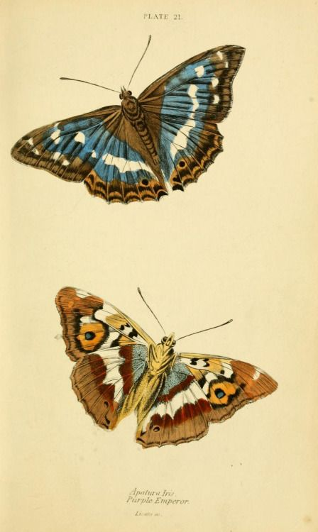 Lepidoptera illustrations, from British Butterflies, 1855, W. H. Lizars and Henry G. Bohn, ed. William Jardine. [Smithsonian Libraries, Biodiversity Heritage Library]