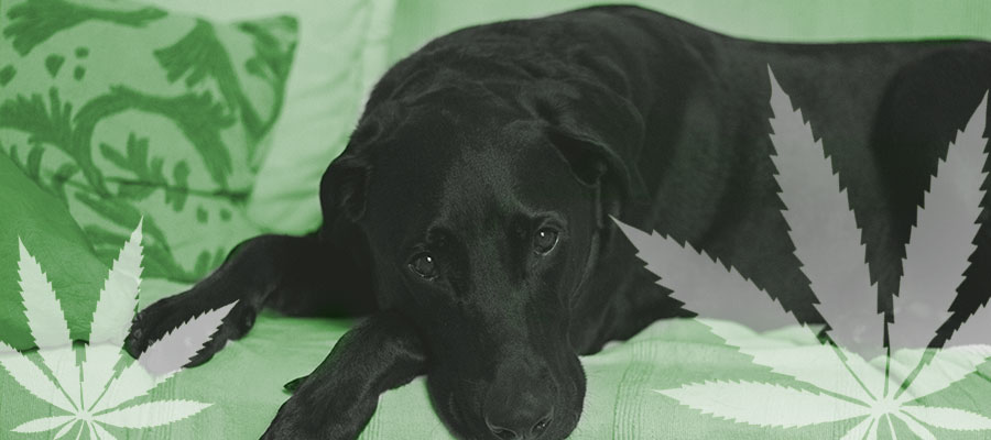 news-dog-marijuana-toxicity.jpg